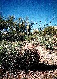 barrel cactus jpg